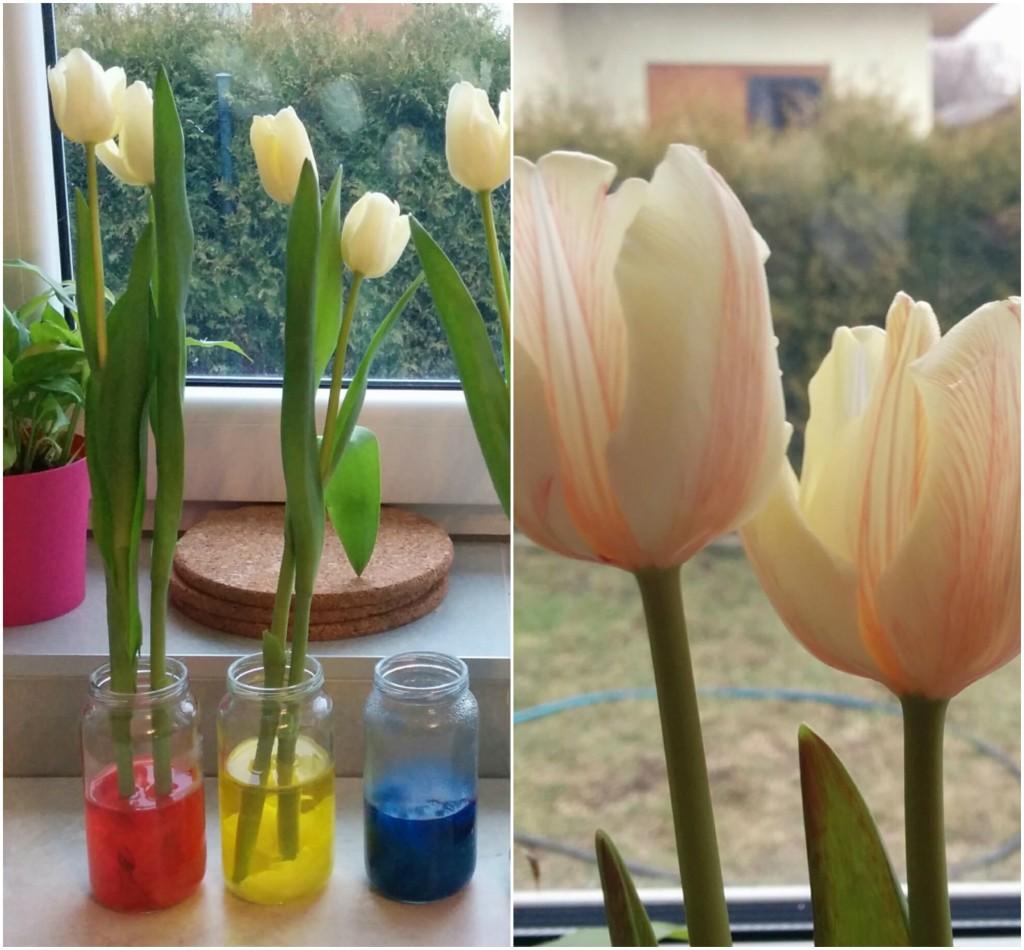 Eksperyment z wodą i barwnikami - efekt kapilarny