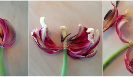 budowa-kwiatu-tulipan